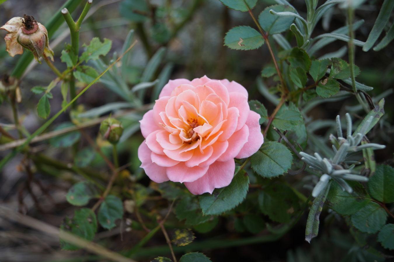 Flower Single Flower Nature Pink Color Color Photography Colorphotography Lieblingsblume Gartenglück Rose🌹 Flowers