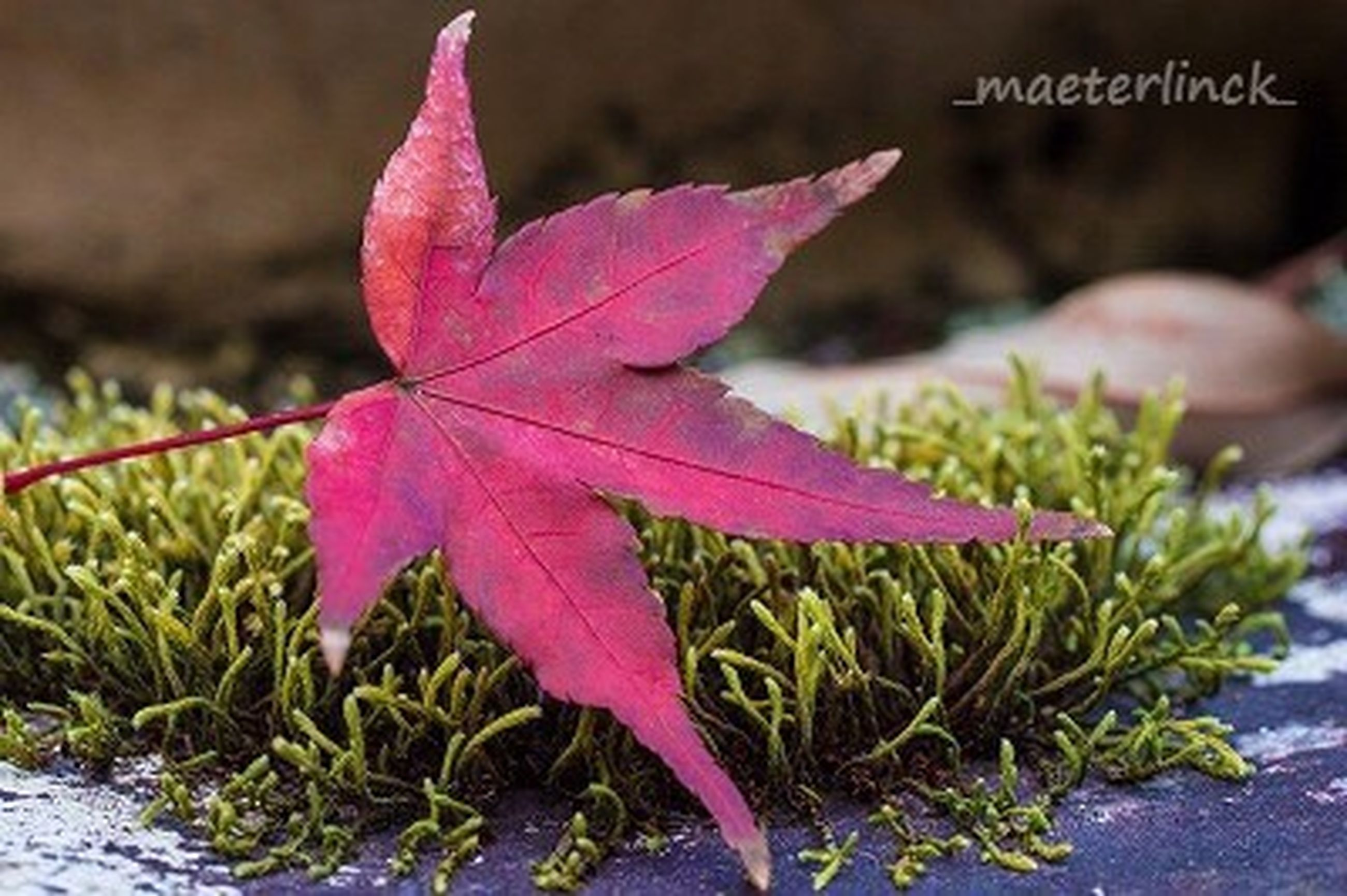 leaf, close-up, focus on foreground, growth, nature, plant, flower, pink color, beauty in nature, fragility, red, freshness, season, day, outdoors, no people, field, high angle view, selective focus, autumn