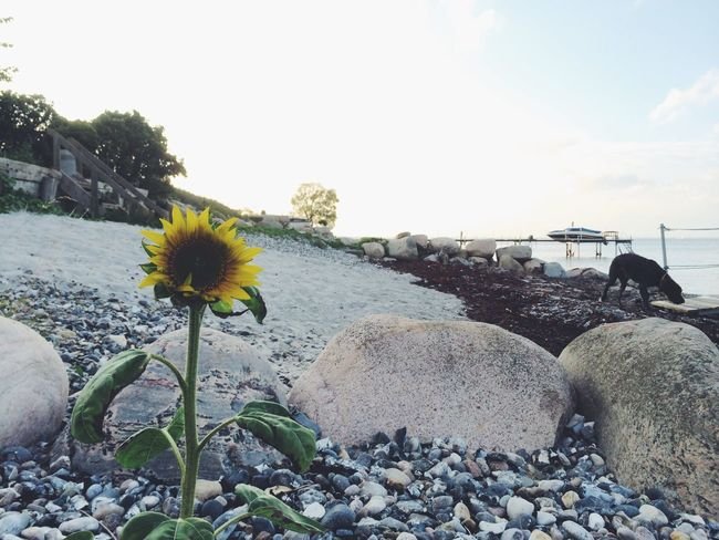 Flower Outdoors Nature Day No People Sky Beauty In Nature Pebble Cloud - Sky Beach Animal Themes Freshness Close-up Sunflower