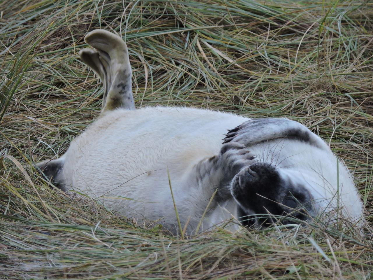 Animal Themes Animals In The Wild Day Donna Nook EyeEm Best Shots Eyeem Nature Grey Seal Mammal Nature No People One Animal Our Best Pics Outdoors Seal Seal Pup Sealife Wildlife Photography