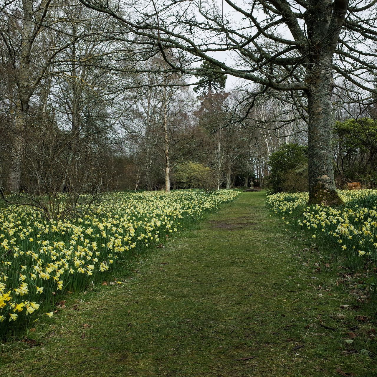 Daffodil Walk Enjoying Nature Nature Flaneur Tree_collection  Scotland Design Garden Photography Historic