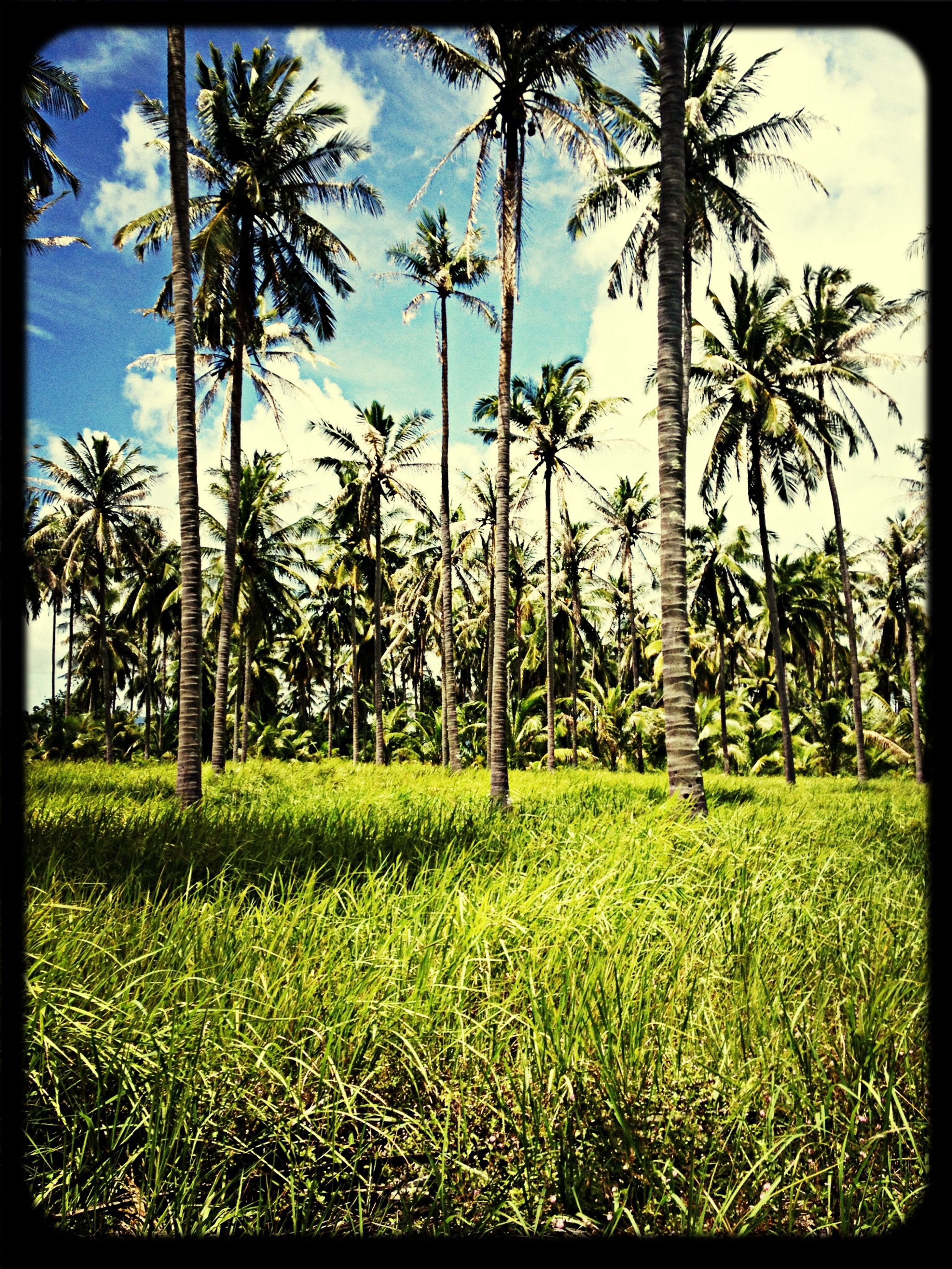 transfer print, tree, grass, auto post production filter, palm tree, growth, sky, field, green color, tranquility, tranquil scene, nature, grassy, tree trunk, landscape, beauty in nature, scenics, plant, day, outdoors