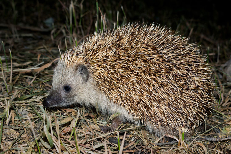 night guest Animal Themes Animal Wildlife Animals In The Wild Guest Hedgehog Mammal Nature Night Night Photography Nightlife Nightphotography Nightshot No People One Animal Outdoors Scary Animals