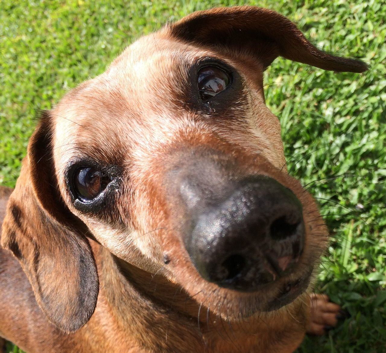 Hey you! Cute Dog  Dog Looking At Camera Close-up Portrait Animal Head  Grass Dog Portrait Dogoftheday EyeEm Animal Lover Dogs Of EyeEm Old Dog Dog❤ The Week On Eyem The Week Of Eyeem Week On Eyeem Dachshunds Dachshund Sausagedog Old Dogs Rule Cute Dog  Modeling Lovely Dog Dogs Dog Love