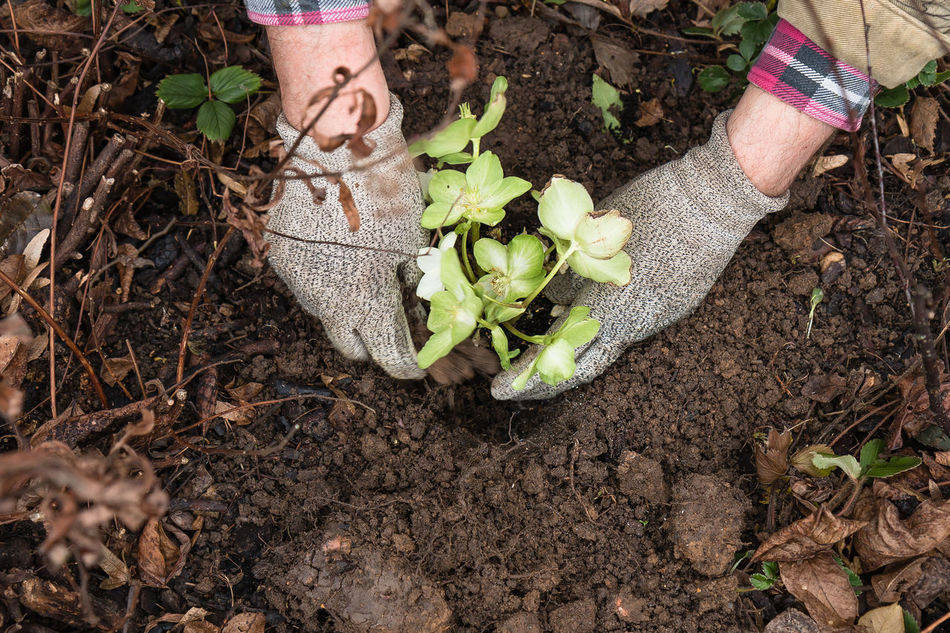 Planting a christmas rose. Christmas Rose Close-up Day Fragility Freshness Garden Work Gardening Growth Helleborus Niger Human Body Part Human Hand Leaf Low Section Nature One Person Outdoors People Plant Planting Bed Sapling Soil