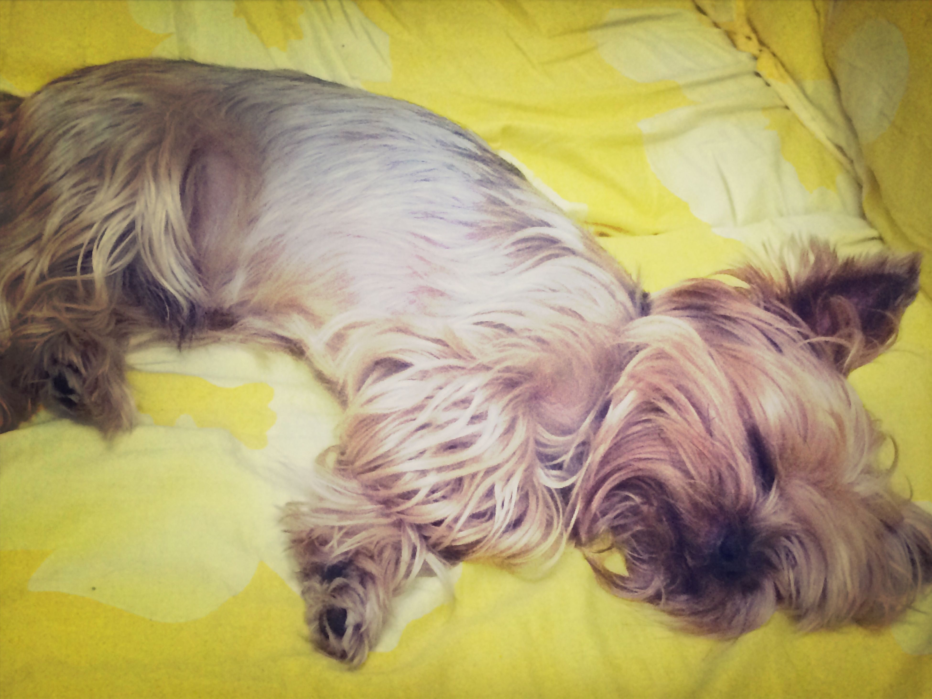 domestic animals, animal themes, pets, mammal, one animal, dog, indoors, relaxation, sleeping, yellow, lying down, resting, animal hair, bed, high angle view, close-up, eyes closed, sofa, home interior, no people