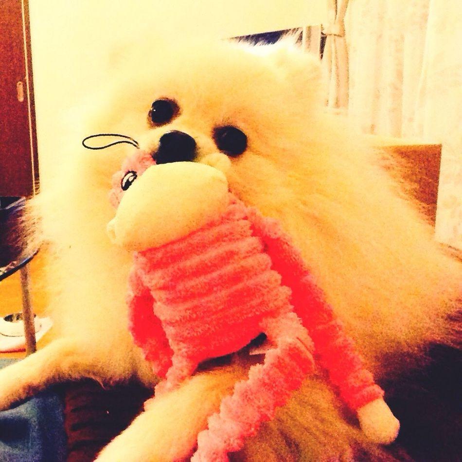 I Love My Dog Pomeranian Korosuke