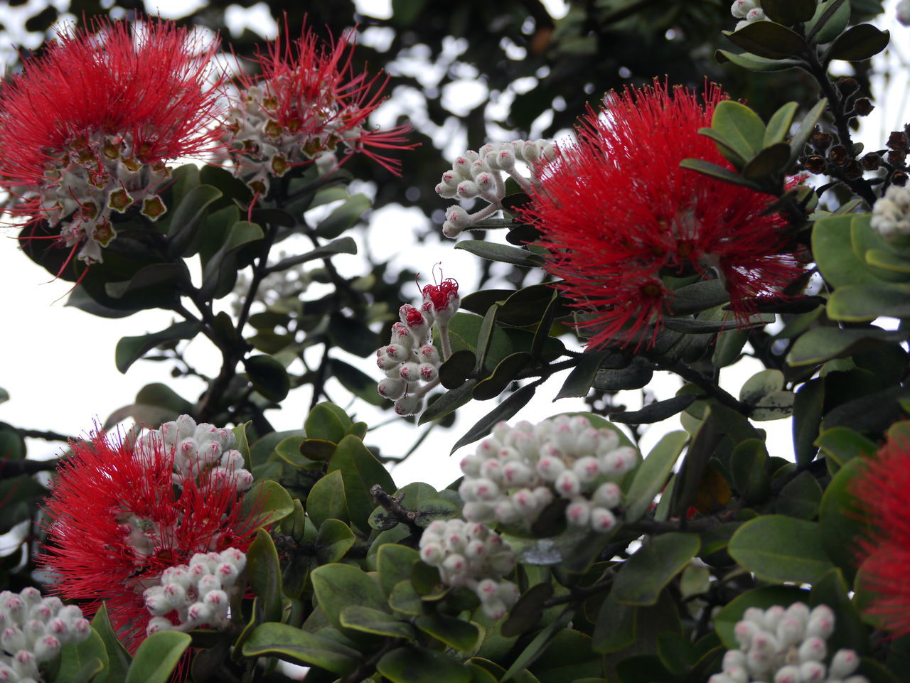 flower, red, growth, nature, beauty in nature, freshness, no people, fragility, petal, flower head, day, outdoors, plant, blooming, close-up, tree
