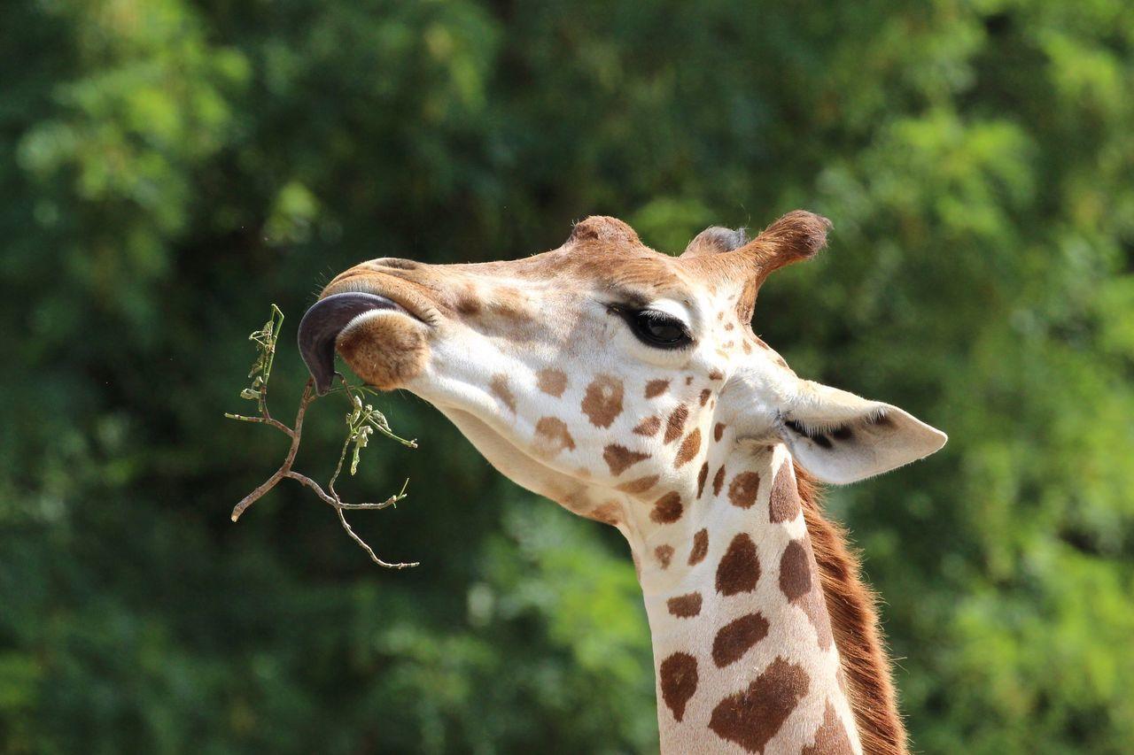 Beautiful stock photos of giraffe, Animal Markings, Animal Themes, Animals In The Wild, Close-Up