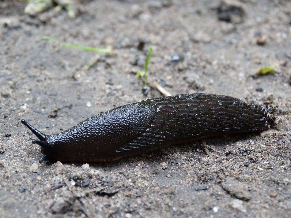 Slug. Slug Molusc Animals Animal Bugs Wildlife Wildlife & Nature Nature Black Slime Insect Snail Creature Outdoors Outside Close-up Animal Themes Garden No People Animals In The Wild One Animal Black Slug