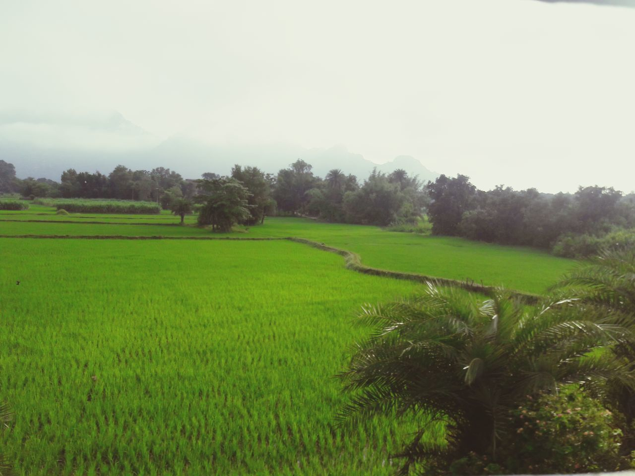 field, agriculture, tranquil scene, nature, tranquility, landscape, beauty in nature, scenics, growth, farm, rural scene, tree, green color, cultivated land, outdoors, day, no people, grass, rice paddy, clear sky, sky