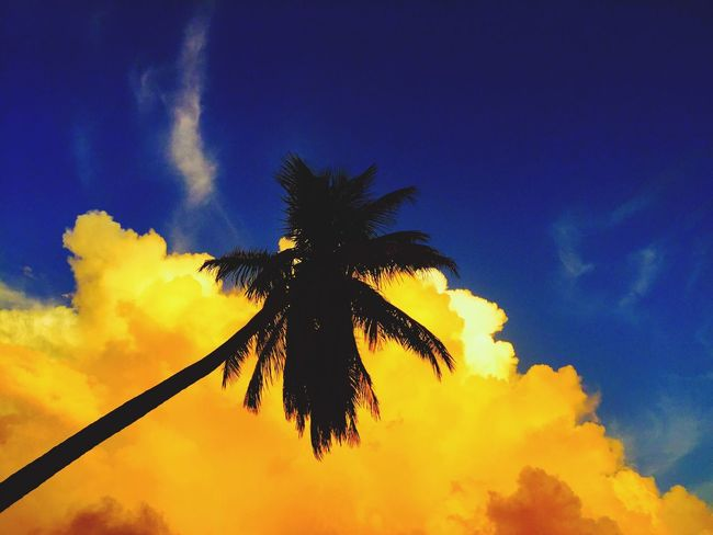 Palm Palm Tree Coconut Palm Coconut Tree Coconut Cocos Nucifera Tropical Tropical Paradise Sunset Sundown Caribbean West Indies Saint Vincent And The Grenadines St Vincent & The Grenadines Windward Islands Tropics Tropics Or Subtropics Blue Sky Blue And Yellow Blue Sky And Clouds Colorful Sky Sunset Silhouettes