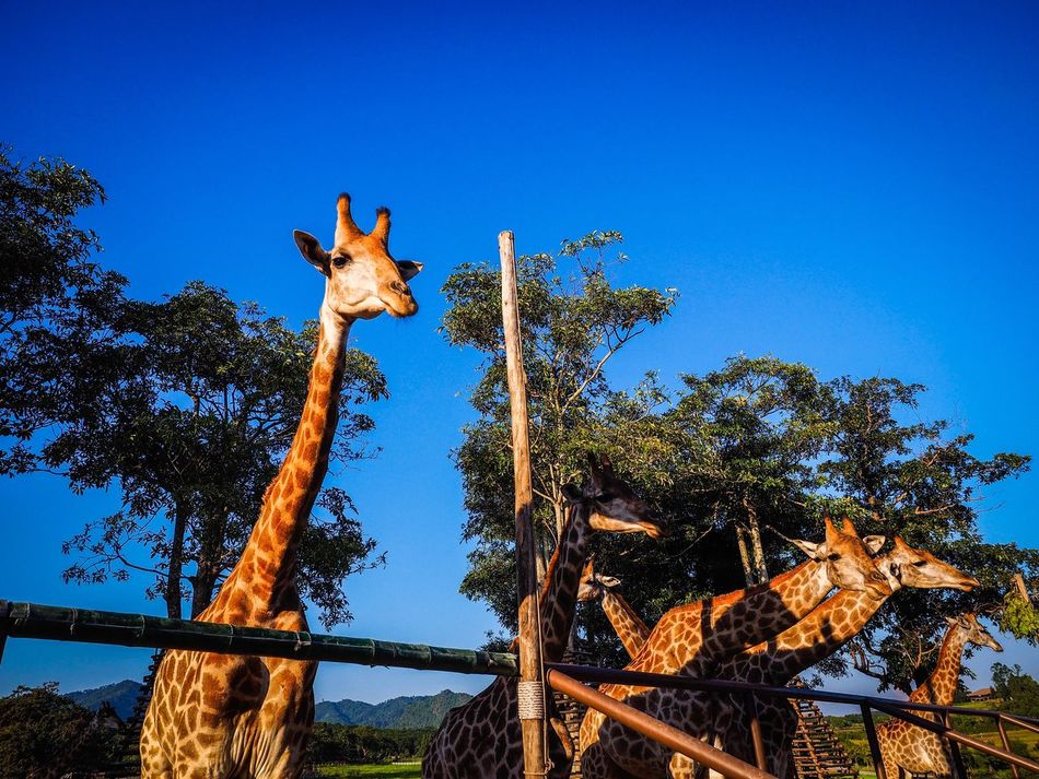 giraffes Tree Nature No People Outdoors Clear Sky Animal Themes One Animal Day Beauty In Nature Sky Giraffes Giraffe♥ Giraffe ♡ Giraffeカフェ Giraffe Family