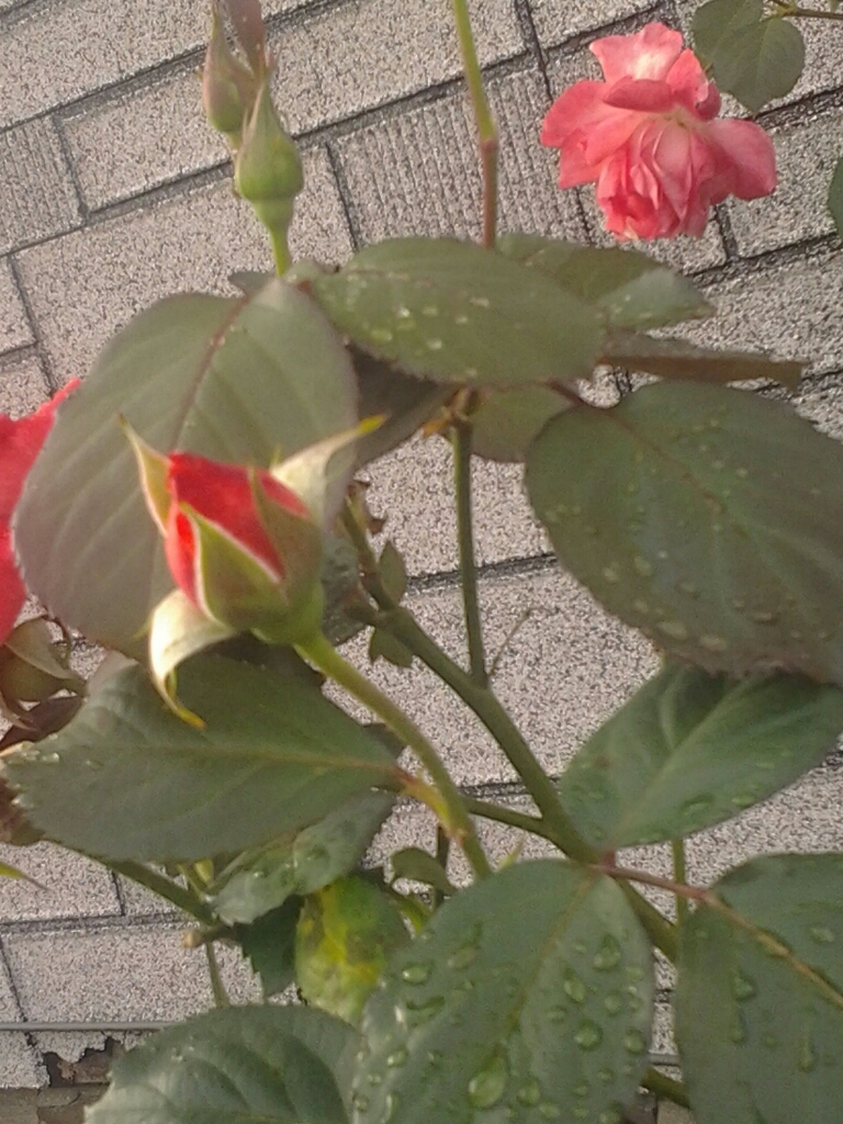 flower, leaf, petal, freshness, fragility, plant, growth, flower head, beauty in nature, nature, rose - flower, pink color, potted plant, close-up, blooming, single flower, red, high angle view, stem, day