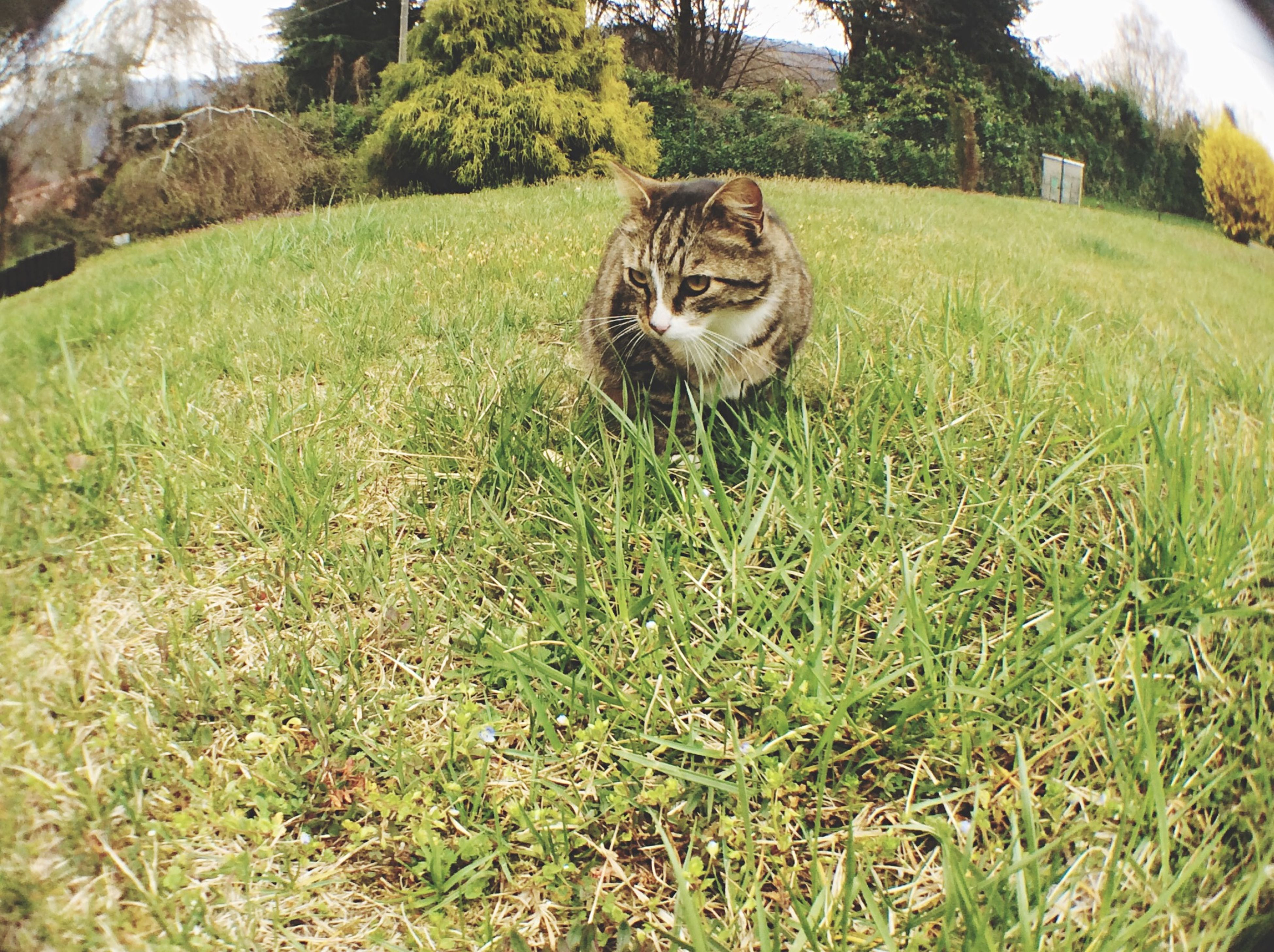 one animal, animal themes, pets, grass, mammal, domestic animals, domestic cat, cat, feline, field, grassy, sitting, looking at camera, portrait, relaxation, whisker, plant, day, outdoors, tree