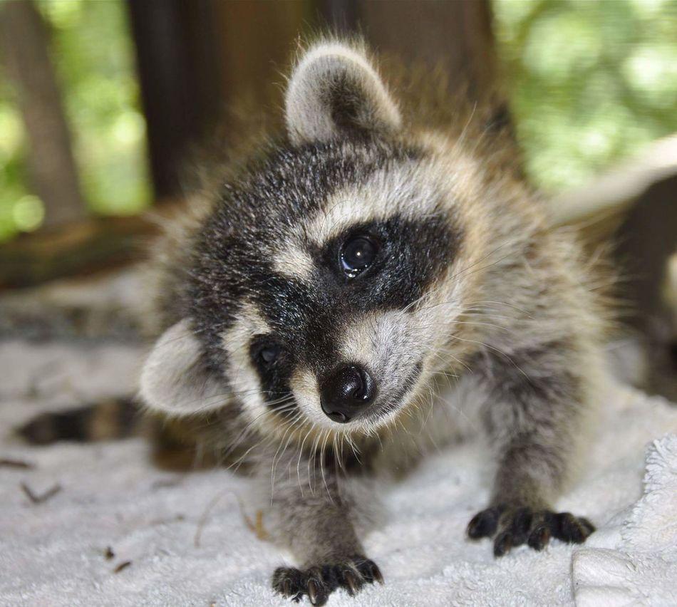 Beautiful stock photos of raccoon,  Animal Head,  Animal Themes,  Animal Wildlife,  Close-Up