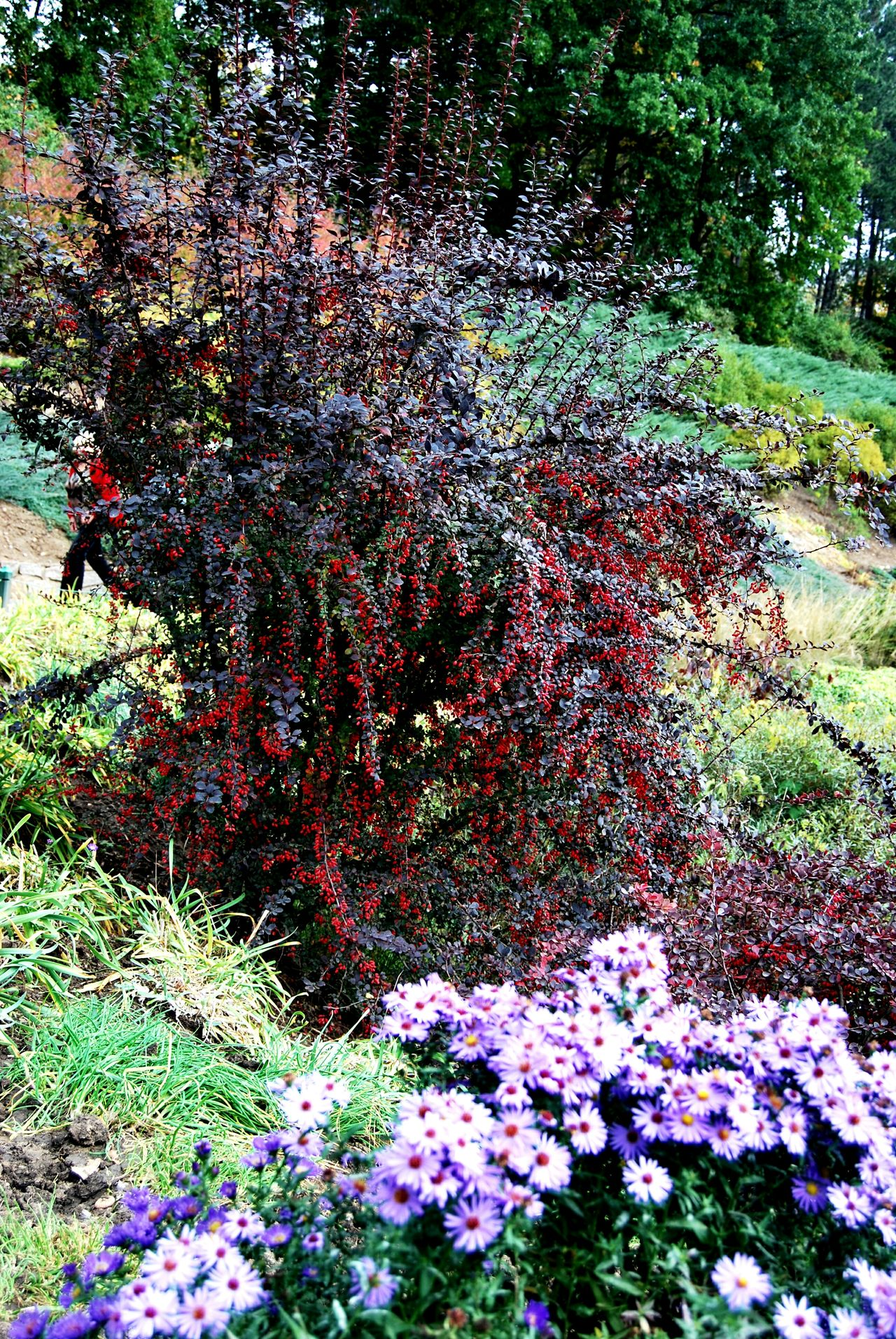 Plant Multi Colored Fragility Beauty In Nature Ukraine 💙💛 No People Outdoors Day Beauty Of Nature Cityparking Dendropark Red Tree Autumnbeauty Autumn🍁🍁🍁 Autumn Is Here...Fall Mood! Sofiïvka Park Tree Red Blooming Berries On A Branch Nature Flower Autumn Colours Autumn Flowers Autumn Forest
