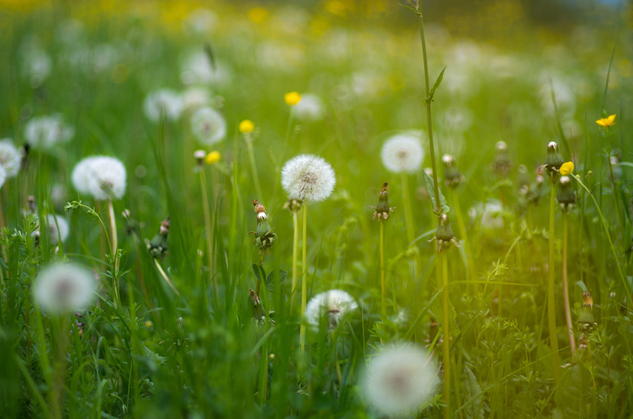 ready for take-off Beauty In Nature Bokeh Close-up Dandelion EyeEm Best Shots EyeEm Nature Lover Field Flower Fragility Freshness Grass Green Ground Ground Level View Growth Landscape Nature No People Outdoors Plant Pusteblume Selective Focus Yellow The Great Outdoors - 2017 EyeEm Awards