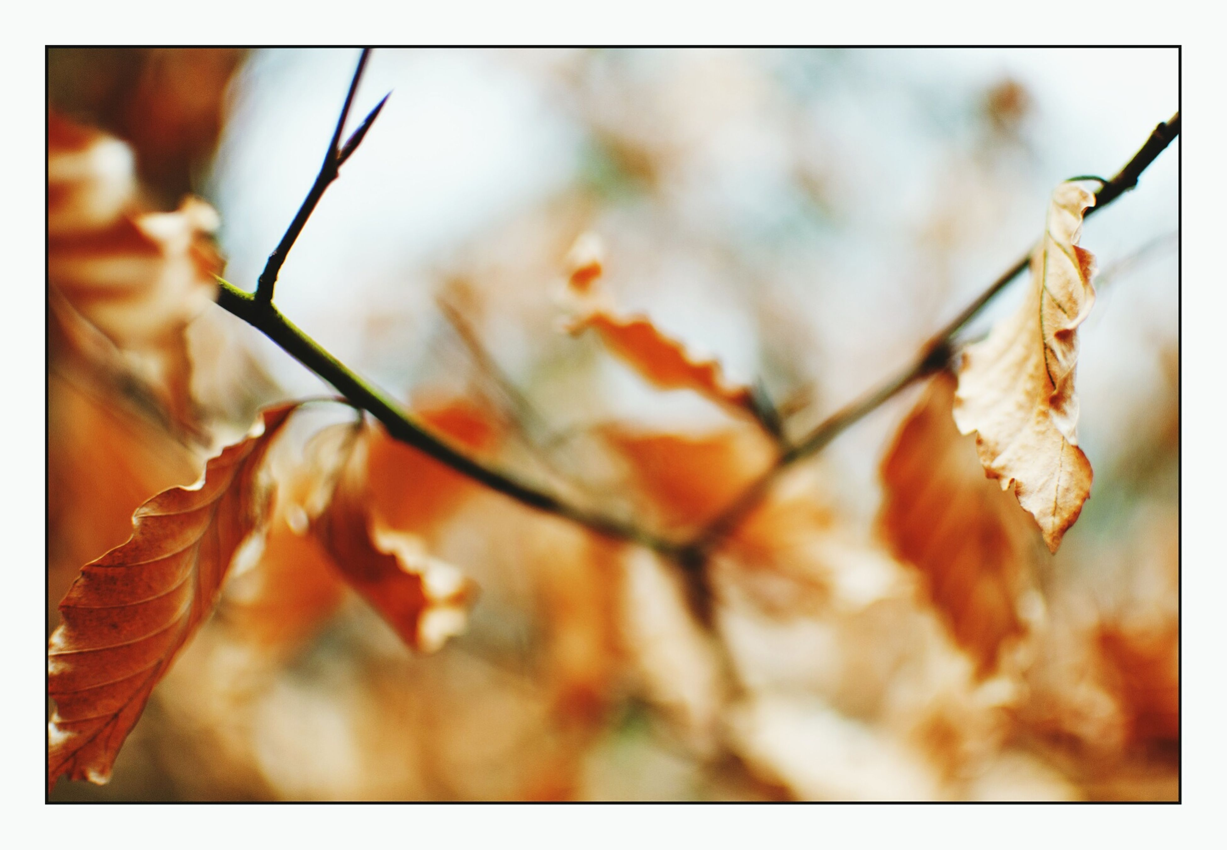 transfer print, auto post production filter, close-up, focus on foreground, selective focus, nature, twig, branch, growth, fragility, dry, plant, leaf, beauty in nature, stem, no people, day, outdoors, flower, freshness