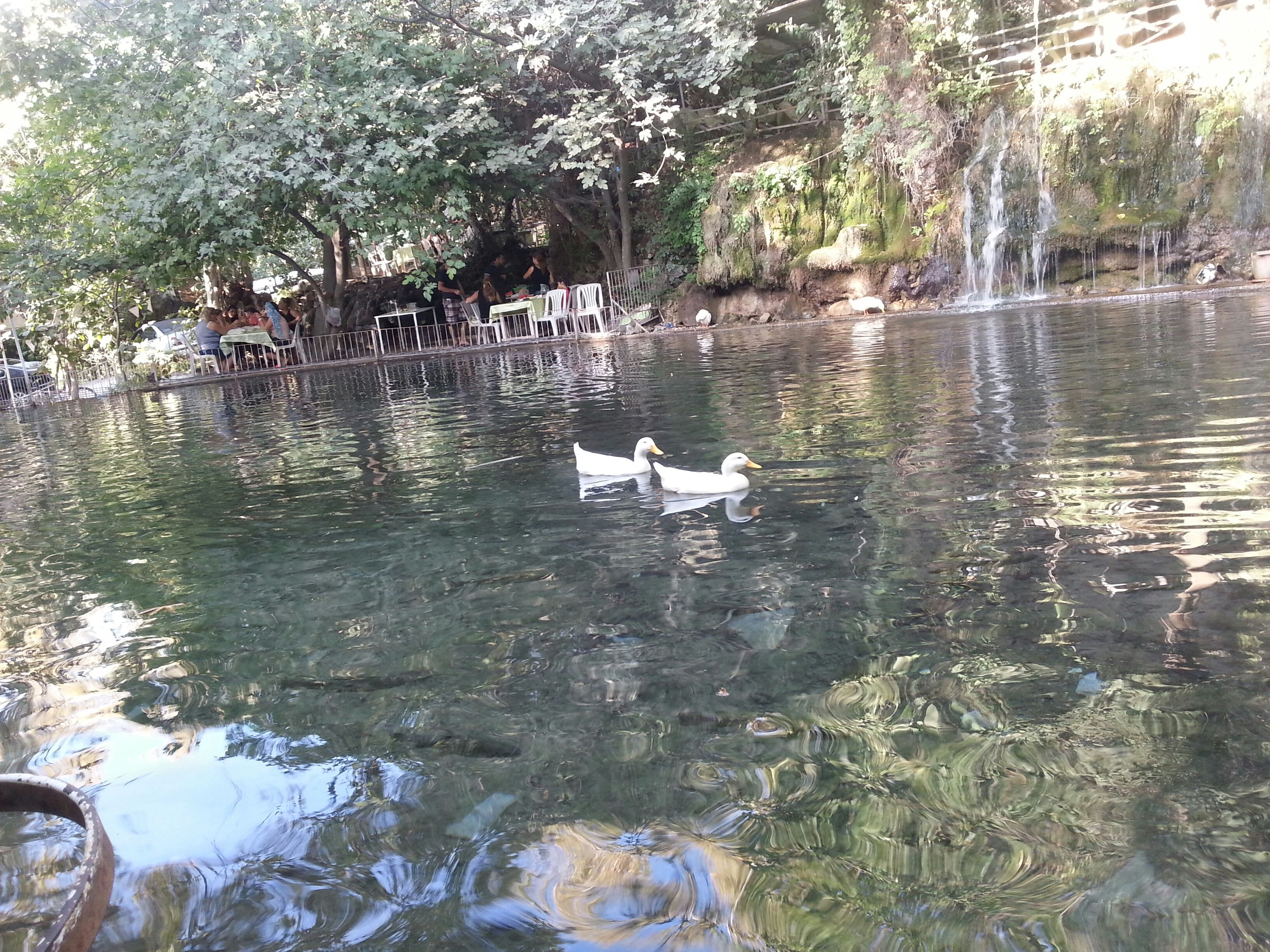 water, animal themes, tree, bird, animals in the wild, lake, wildlife, swimming, reflection, nature, waterfront, duck, swan, tranquility, rippled, day, pond, one animal, beauty in nature, two animals