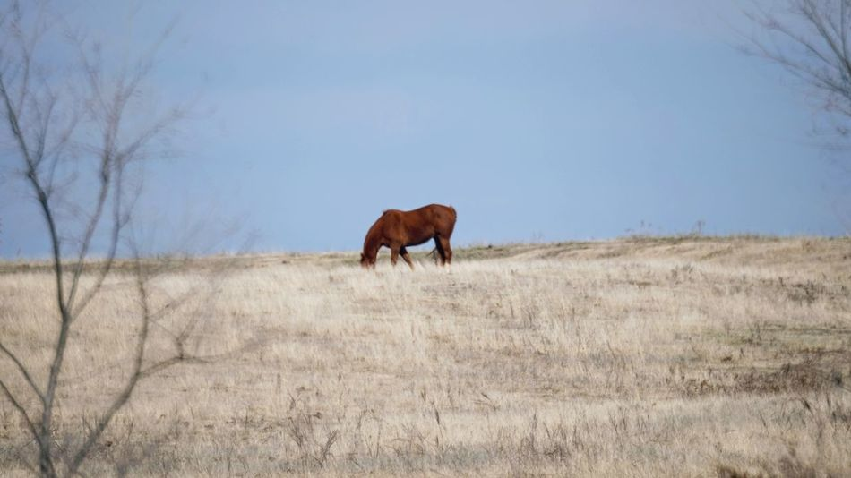 Visual Journal February 2017 Thayer County, Nebraska America Animals In The Wild Clear Sky Country Living Environment EyeEm Best Shots EyeEm Gallery Field FUJIFILM X-T1 Fujifilm_xseries Full Length Getty Images Horse Landscape Manual Focus MidWest Nebraska Nikkor 500mm F8 No People One Animal Photo Diary Rural America Rural Landscape Small Town Stories Visual Journal