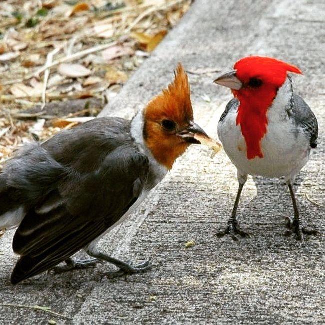 Meet the pair. Guess the gender..... Cardinal Redbird Malecardinal Femalecardinal