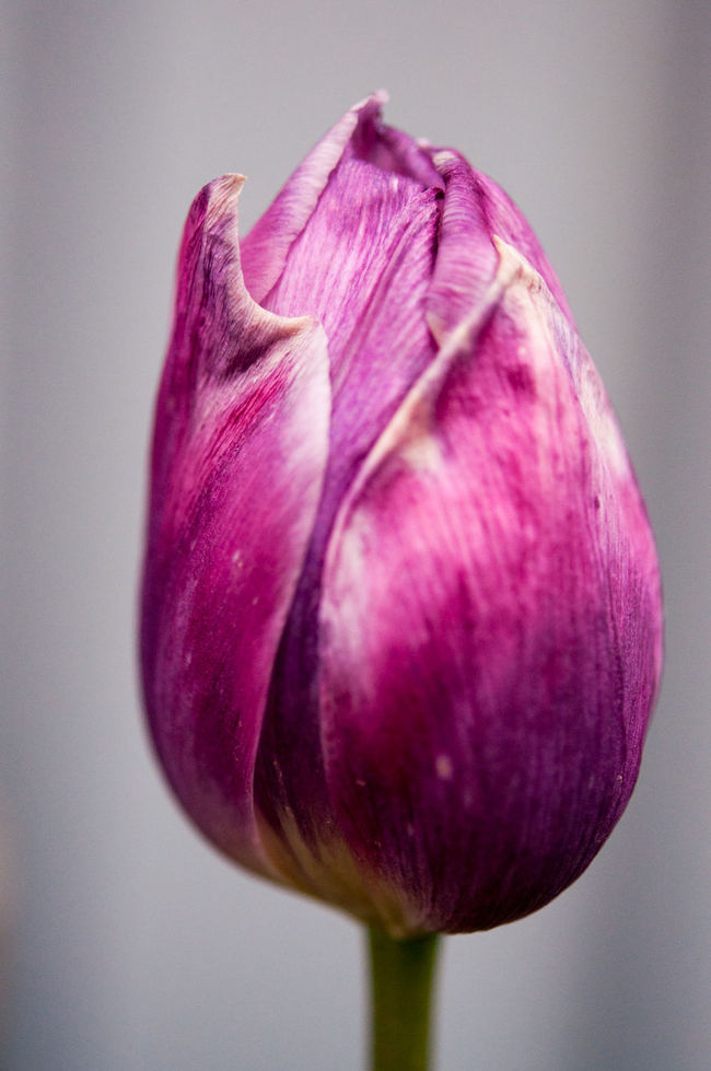 Solitude Makro Makro Photography Check This Out Hello World Tulip Tulips🌷 Flowers Thegreatoutdoors-2016eyeemawards The Great Outdoors - 2016 EyeEm Awards The Great Outdoors -2016 Eyeem Awards Tranquil Scene Relaxing Eye4photography  Spring Time Sweden Picoftheday Pink Flower Taking Photos Check This Out Close-up Photooftheday Blooming No People Beauty In Nature Fragility