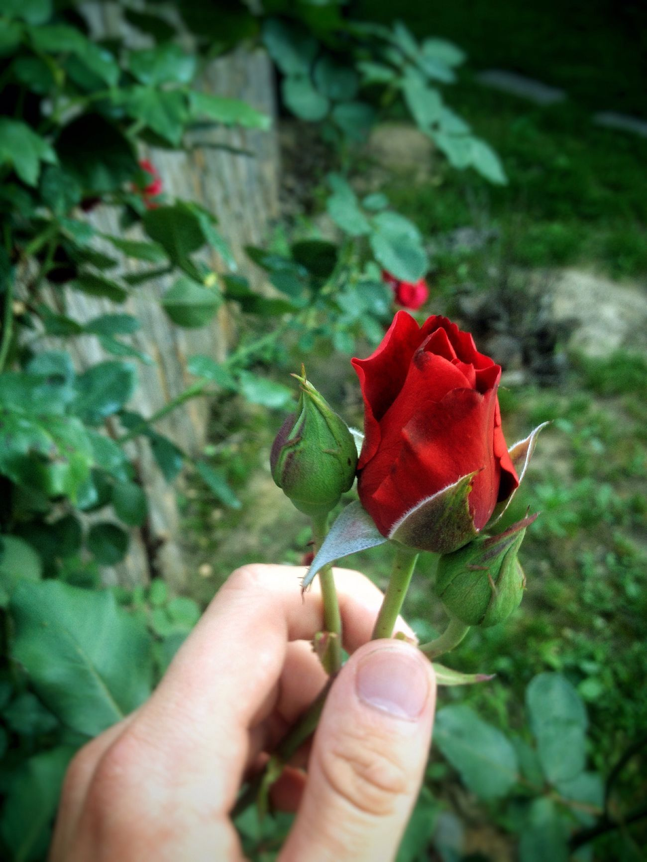 Rose🌹 Beauty In Nature Favoriteflower Romantic