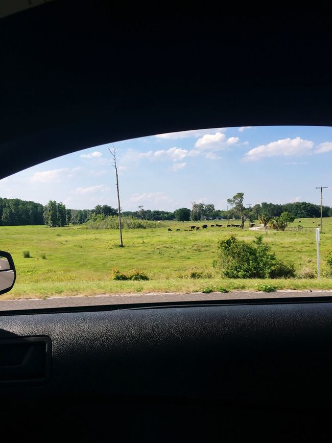 Cows Grazing Afar , Through the Passengers Door open Window MeinAutomoment