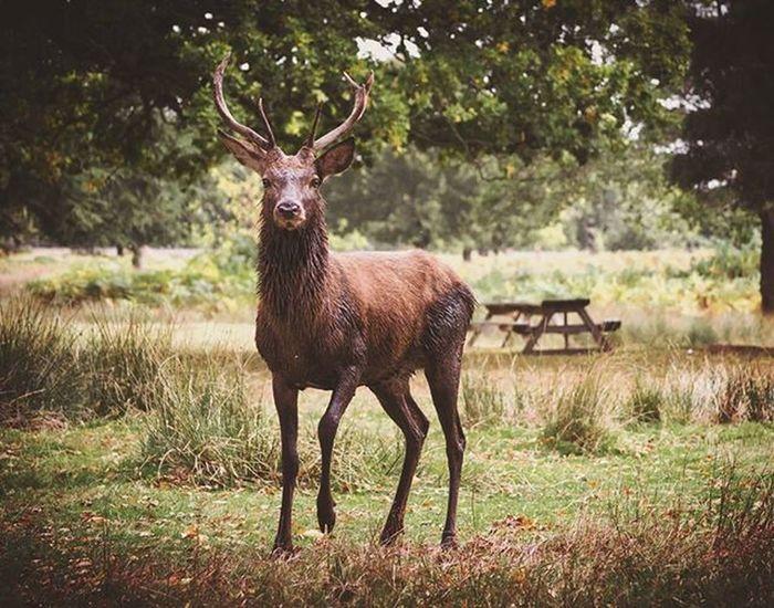 Stag 2... Wildlifephotography Wildlife_perfection Naturelovers Bradgatepark Ukpotd Fiftyshades_of_nature Ig_britishisles Capturingbritain_rural