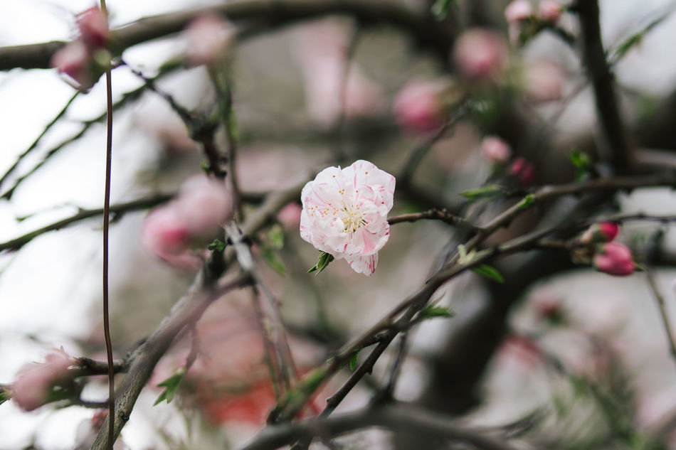Close-up of blooming sakura spotted in Tokyo, March 2017. Beauty In Nature Blooming Branch Cherry Blossom Cherry Blossoms Cherryblossom EyeEm Japan Flower Flower Head Freshness Growth Nature Pink Color Sakura Sakura2017 Tourism Tree Break The Mold Art Is Everywhere TCPM