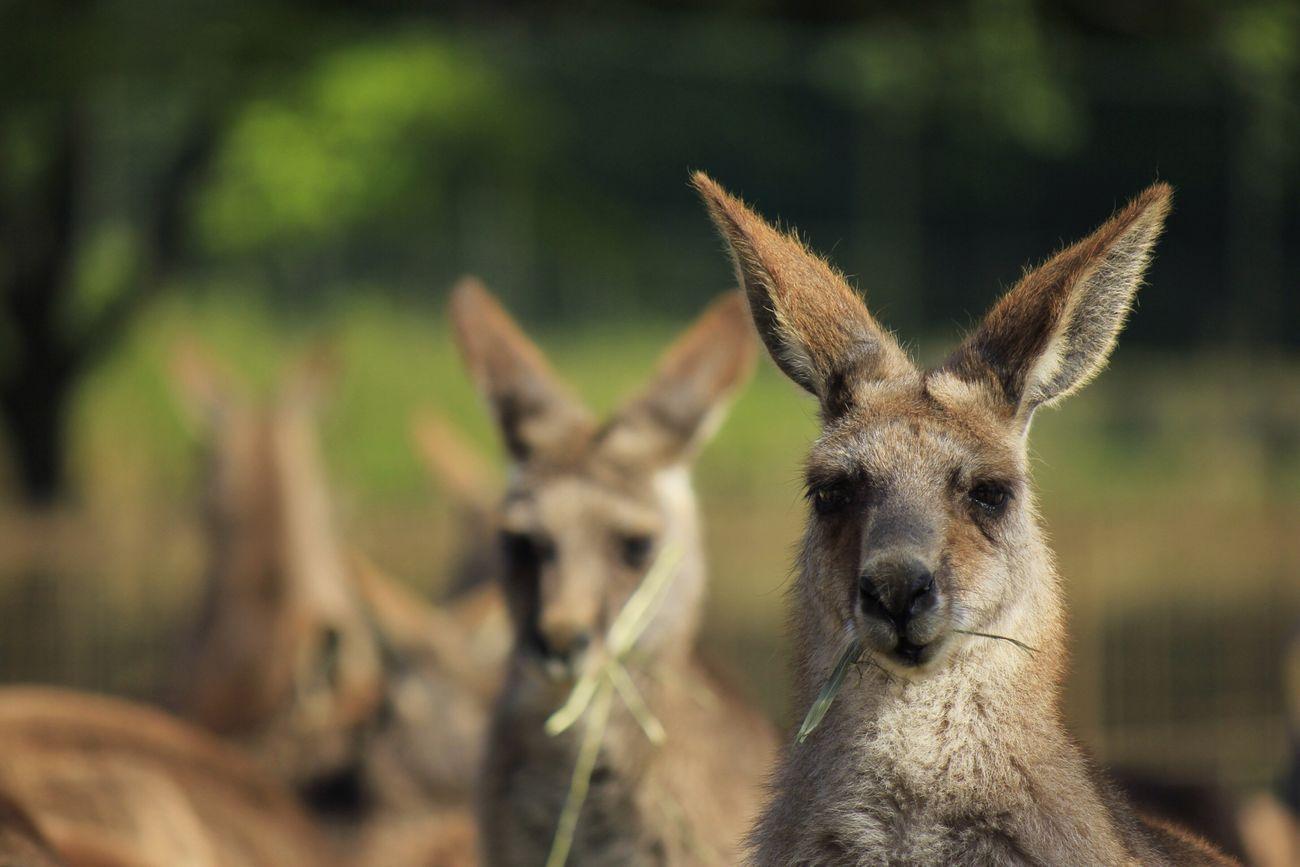 Kangaroo Zoo Animals  Eating!