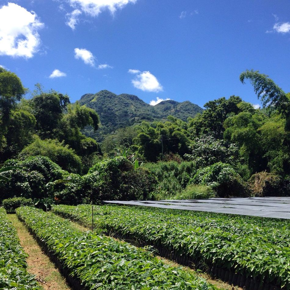 Coffee Mountains Puertorico