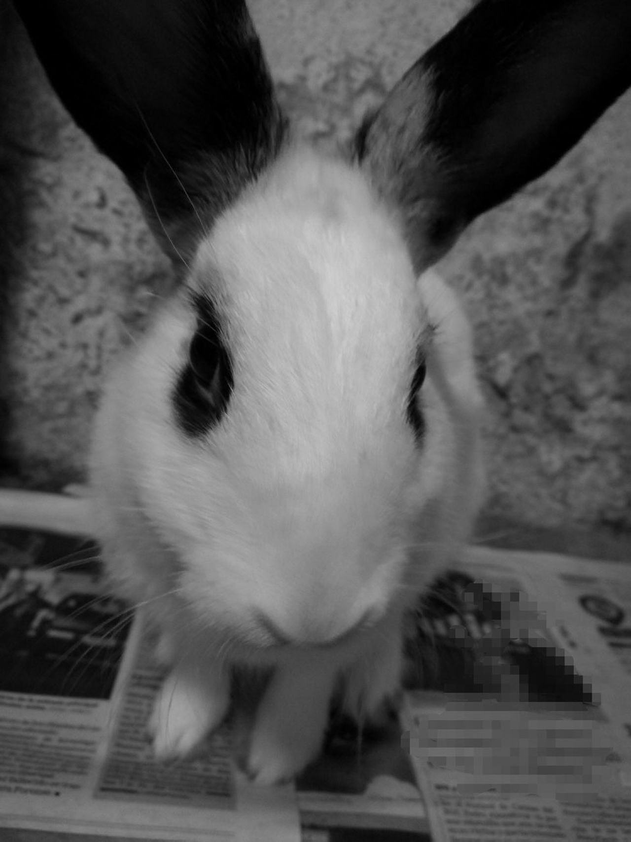 Small Pet Black And White Rabbit ❤️ Lovely Pet