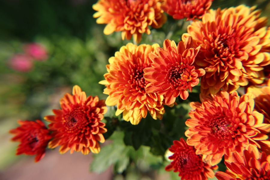 Chrysanthemum Flower Beauty In Nature Fragility Plant Flower Head Nature Freshness Focus On Foreground Petal Red Close-up No People Outdoors Day Zinnia