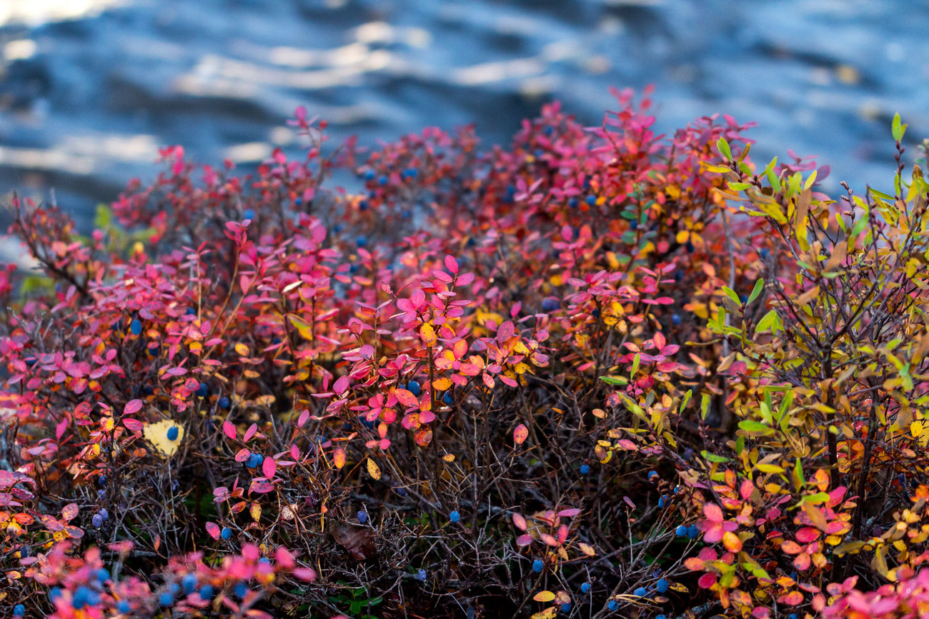 Blueberry Hill Flower Nature Beauty In Nature No People Outdoors Plant Leaves Fall Fall Colors Autumn Autumn Leaves Color Colorful Sweden Dalarna Foliage Water Lake Lakeside Fresh On Eyeem