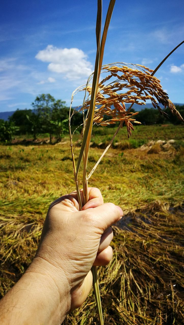 human hand, real people, one person, day, outdoors, holding, human body part, sky, field, nature, close-up, tree, men, ear of wheat, wheat, landscape, grass, people