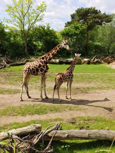 ZooLeipzig Giraffe Animals Spring Taking Photos Details Of My Life Check This Out Hello World Hanging Out Hi!