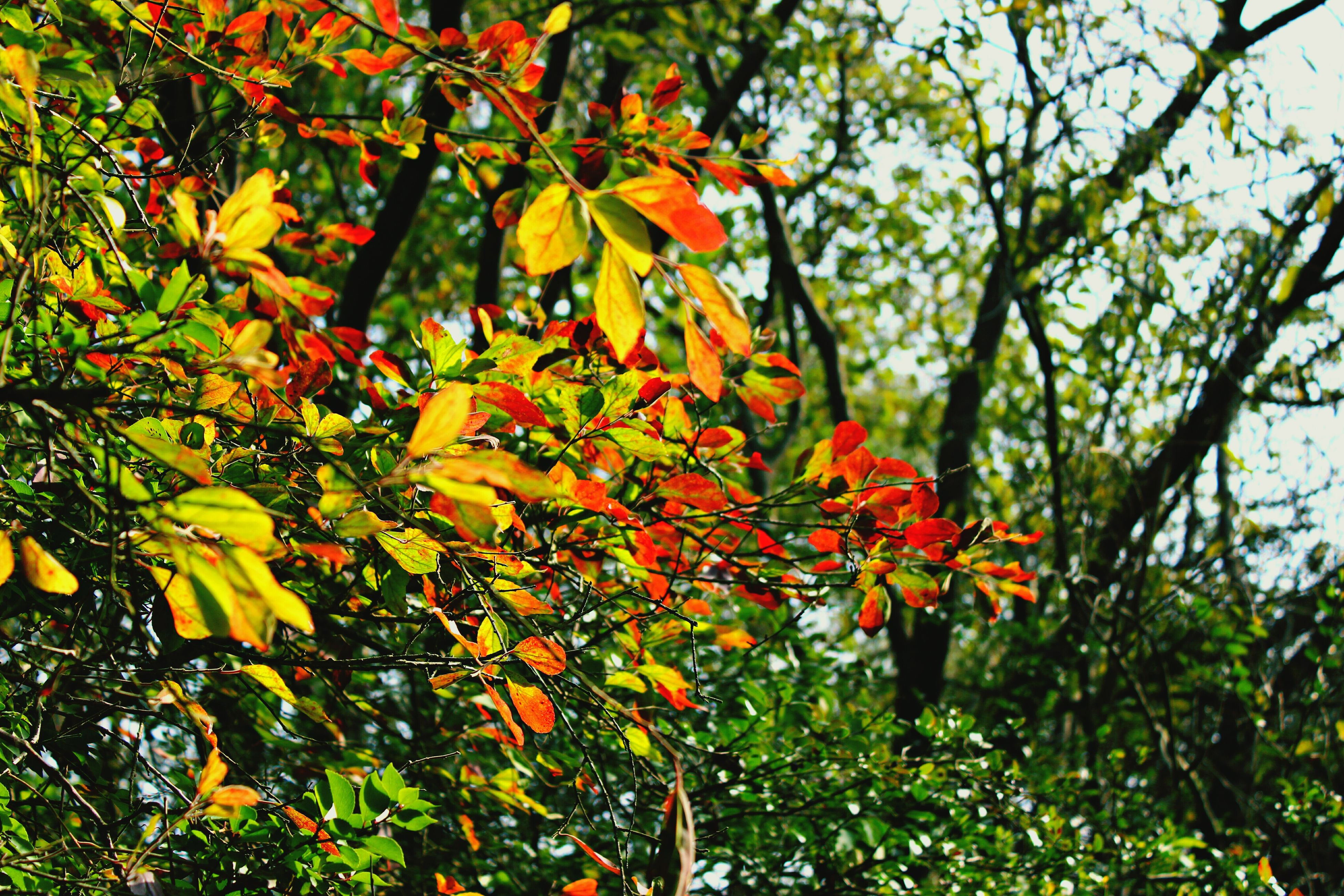 tree, growth, branch, low angle view, leaf, orange color, autumn, nature, beauty in nature, change, season, freshness, red, sunlight, tranquility, day, green color, outdoors, no people, plant