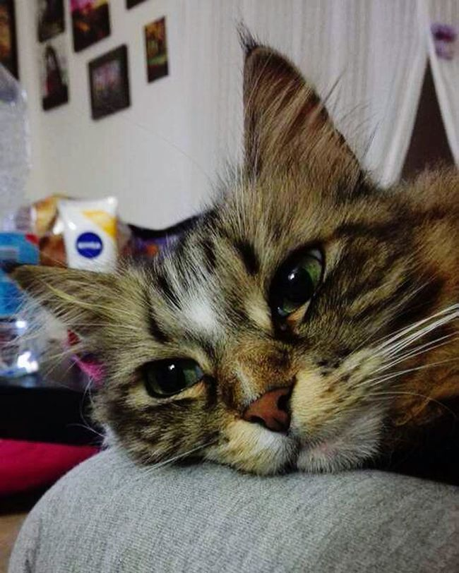 Cat♡ Loveofmylife ♥ Occhi Di Gatto Baffi Love Eye Cat Animals Kitty Kitten Gatto Gatti Carolina