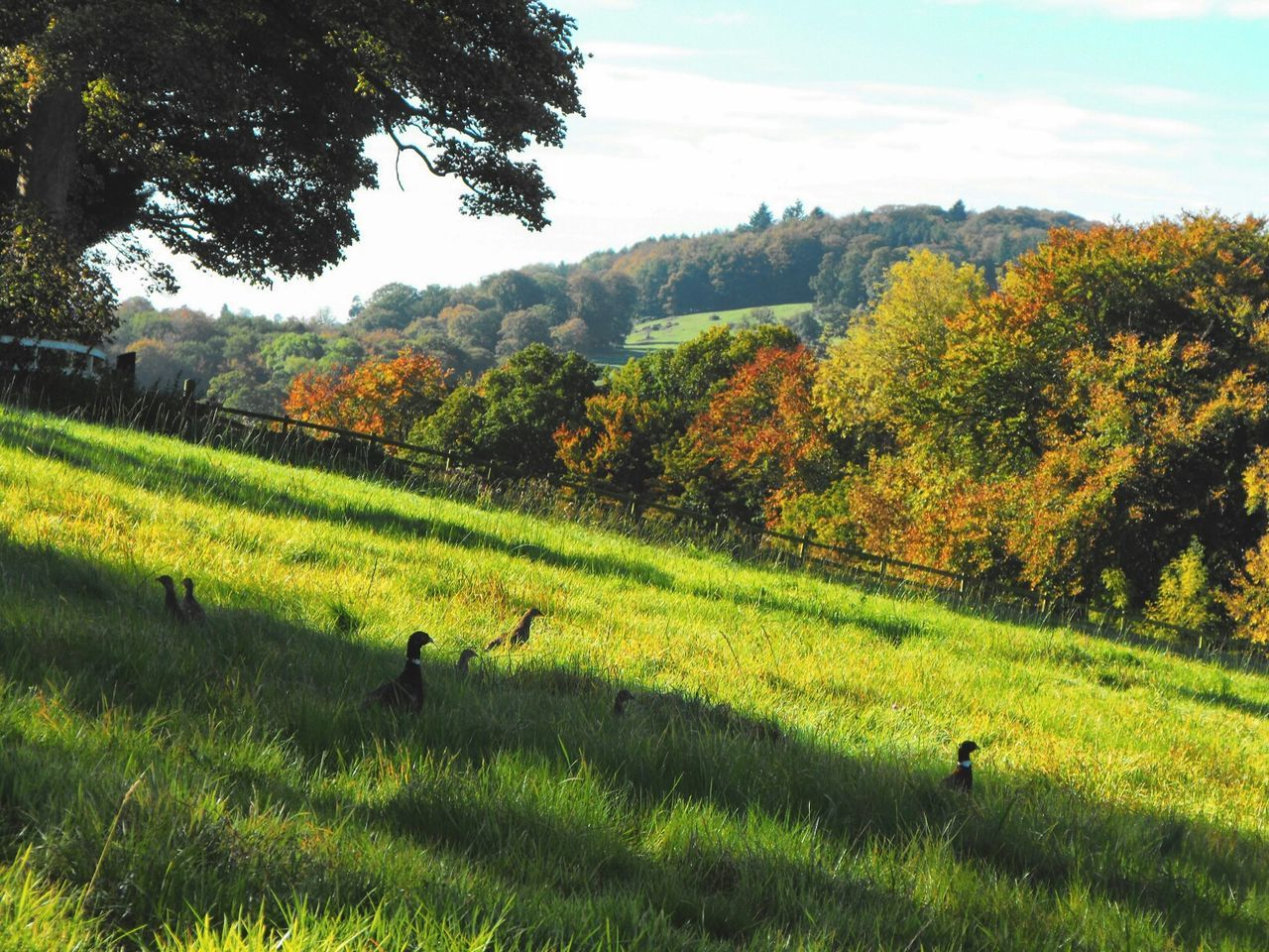 A Field full of Pheasants ... Welshpool Wales Countryside Wildlife Autumn Fall осень фазан