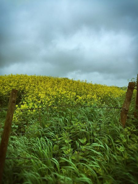 Rainy Walks Wiltshire UK Countryside Hedgerow Country Life Wiltshire Countryside English Countryside Beautiful Nature Stormy Skies Rapeseedblossoms Rapeseed Field Fieldscape Country Fields Farmland Yellow Flower Rainy Days Barbed Wire Fence Fine Art Photography