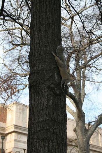 Close-up No People Outdoors Posing Squirrel Squirrel Squirrel Closeup Squirrel On A Tree Tree Tree Trunk Vertical Squirrel Tuscaloosa, Alabama Tuscaloosa University Of Alabama Quad