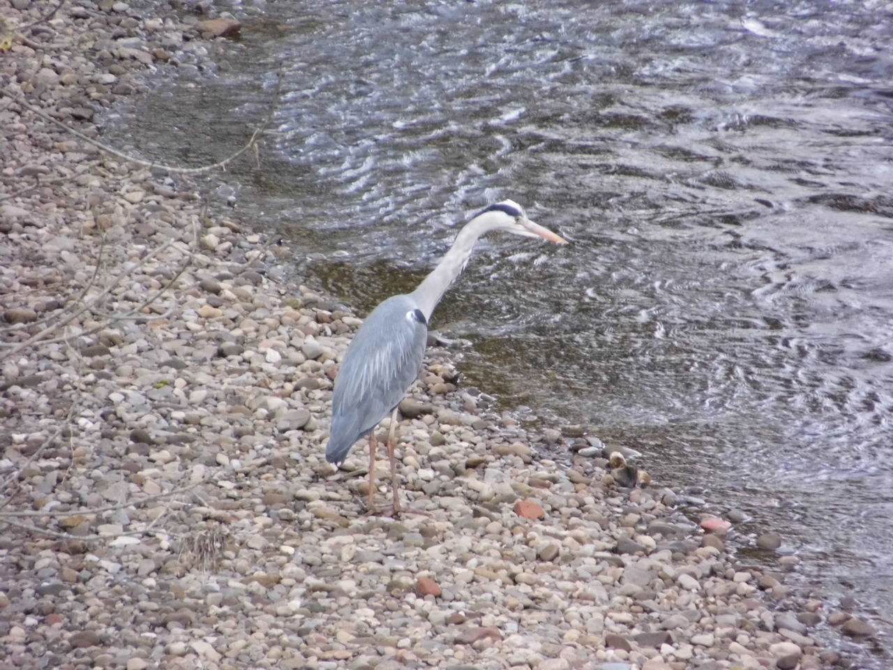 one animal, animal themes, bird, water, heron, day, animals in the wild, nature, outdoors, no people, gray heron, animal wildlife