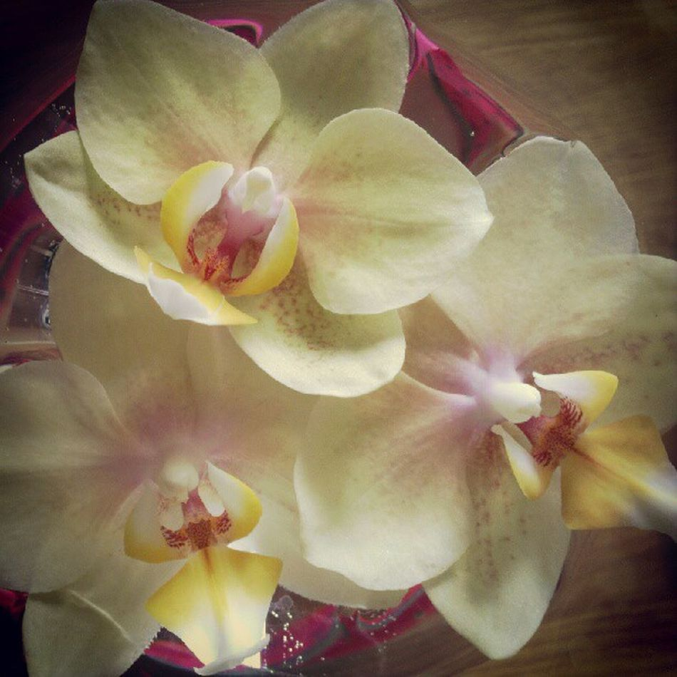 Accidentally broke off some blooms from one of my Orchids (again) but at least they make a pretty centerpiece for a week or so... Yellow Pretty Flowers Orchid Centerpiece Phalanopsis