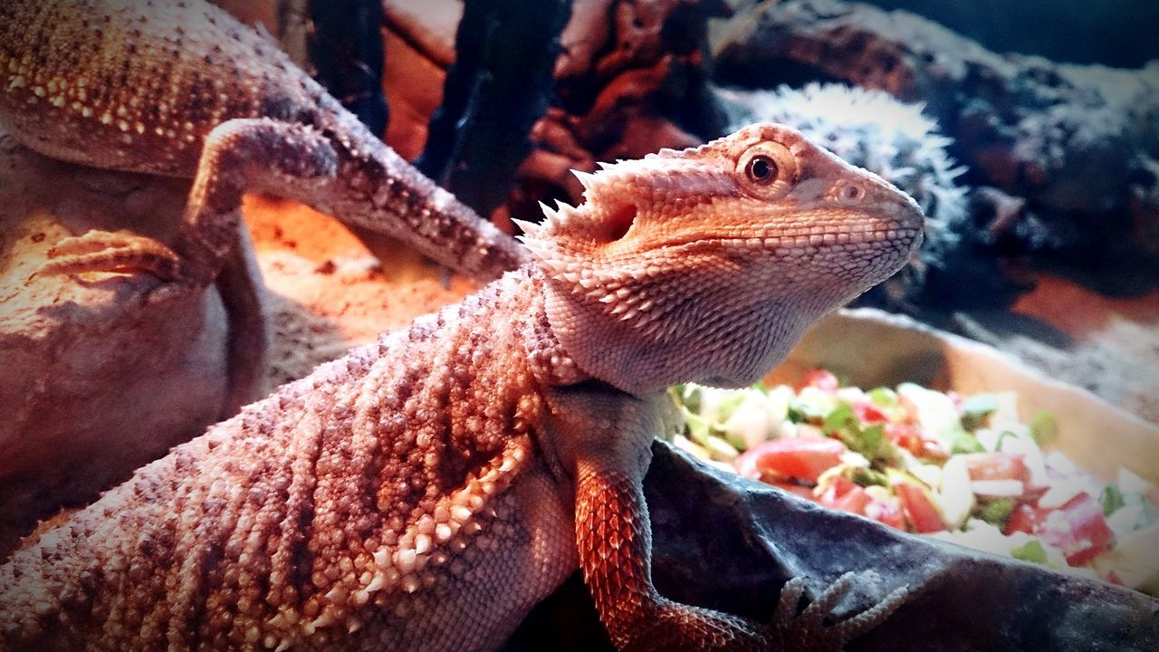Taken awhile back. Petshop Reptiles Bearded Dragon Cute Iwantone