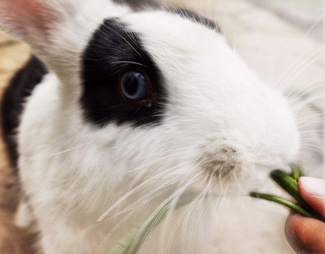 Black eye rabbit One Animal Human Hand Animal Themes Domestic Animals Real People One Person Mammal Pets Feeding  Human Body Part Unrecognizable Person Personal Perspective Human Finger Holding Lifestyles Close-up Food Indoors  Day Popular Animals In The Wild Animal Photography