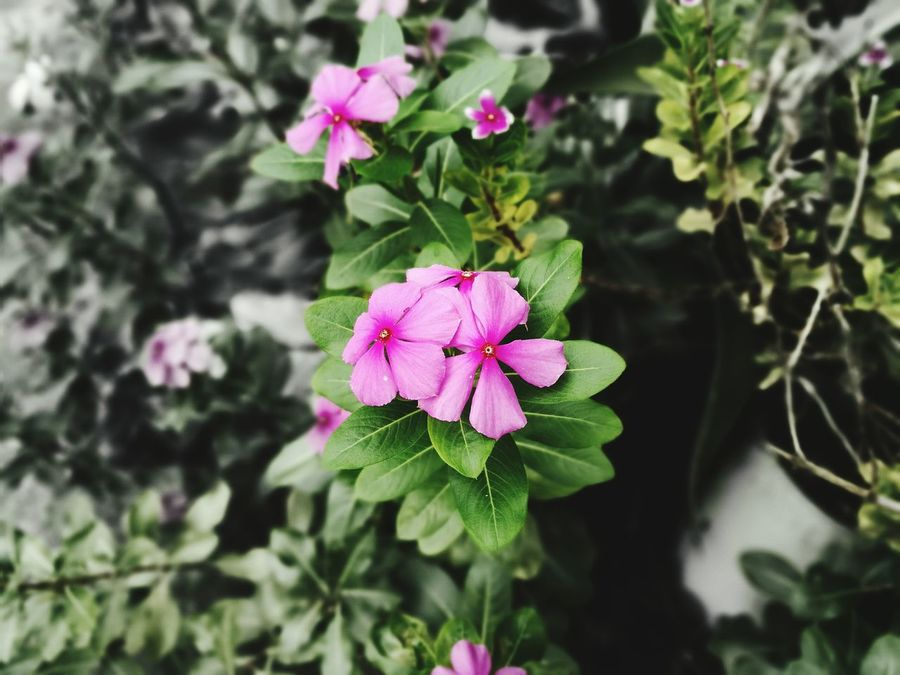 Flower Pink Color Petal Plant Nature Freshness Beauty In Nature Blooming Day Outdoors Growth EyeEmNewHere