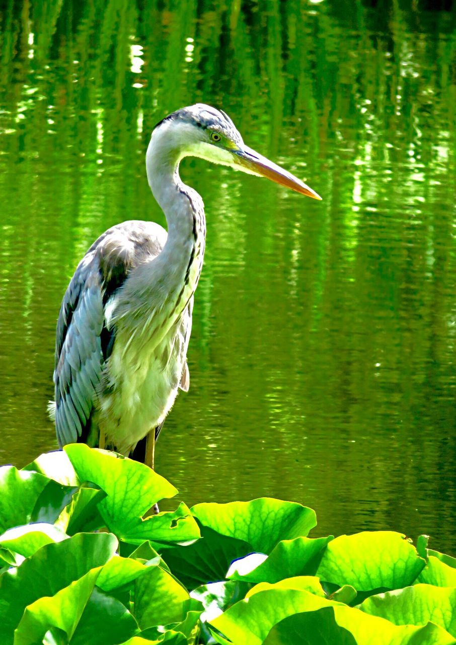 one animal, animals in the wild, bird, animal themes, lake, day, nature, green color, heron, animal wildlife, water, leaf, beauty in nature, outdoors, plant, no people, gray heron, perching, close-up