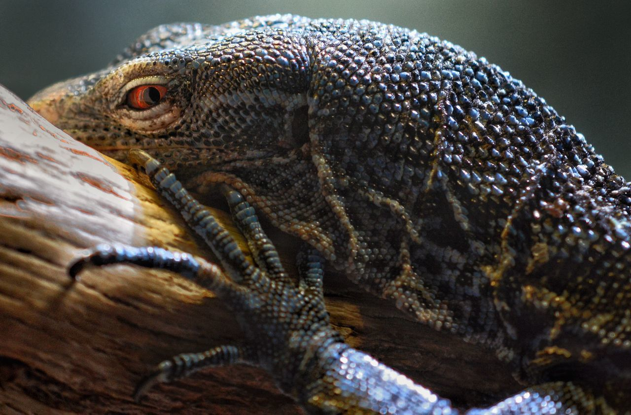 Purest Evil Reptile One Animal Animals In The Wild Animal Wildlife Animal Themes Close-up No People Animal Scale Day Iguana Nature Outdoors Evil Purest Evil